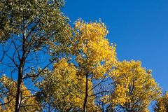Quaking Aspens Populus tremuloides changing color in the Fall, Williams, Arizona stock photo