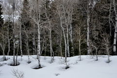 Quaking Aspens in the snow-covered hill. Royalty Free Stock Image