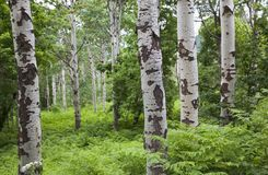 Quaking Aspens Trunks. A grove of quaking aspens tree trunks close-up among dense plant growth Royalty Free Stock Images
