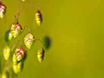 Quaking grass Stock Images