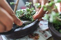 Qualcuno piccoli bonsai crescenti immagine stock libera da diritti