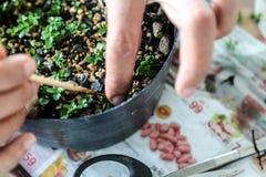 Qualcuno piccoli bonsai crescenti fotografia stock
