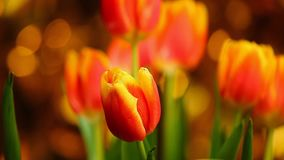 A qualidade de Tulip Flower Footage Studio colore Bokeh video estoque
