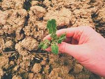 Qualità del controllo dell'agricoltore del seme di ravizzone del fiore nel giacimento di primavera Foglie, gambo e radici di giov Immagini Stock Libere da Diritti