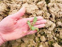 Qualità del controllo dell'agricoltore del seme di ravizzone del fiore nel giacimento di primavera Foglie, gambo e radici di giov Fotografie Stock Libere da Diritti