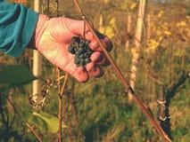 Qualità del controllo dell'agricoltore delle viti congelate in vigna in autunno L'uva della vite nell'iarda tradizionale della vi Fotografie Stock Libere da Diritti