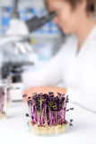 Quality control. Senior scientist or tech tests cress sprouts Stock Photos