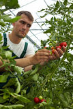 Quality control for tomatoes Royalty Free Stock Images