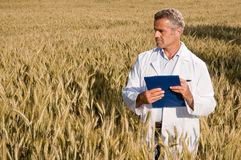 Quality control before wheat harvest. Mature satisfied technician looking at ripe wheat's field during a quality control before the harvest Stock Photography