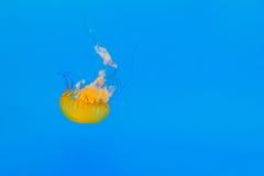 Qualle schwimmt stockfotos