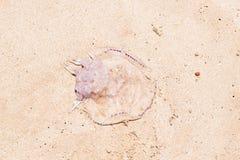Quallen auf dem Sand Stockfoto