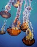 Quallen, die in ein Aquarium schwimmen Stockbild