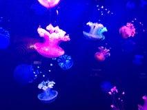 Quallen im Aquarium Stockfoto