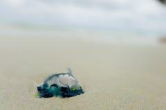 Quallen im Wasser auf dem sandigen Ufer von Galapagos-Insel Stockfoto