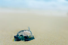 Quallen im Wasser auf dem sandigen Ufer von Galapagos-Insel Stockfotos