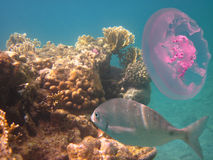 Quallen und Korallenfische Lizenzfreie Stockfotos