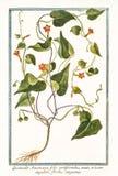 Quamoclit Ipomoea americana hederifolia Zdjęcie Stock