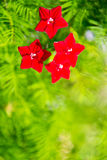 Quamoclit, small red flowers Royalty Free Stock Photos
