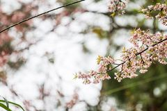 Quand l'hiver est venu, la fleur de cerasoides de Prunus fleurissait avec un fond de forêt Photographie stock libre de droits