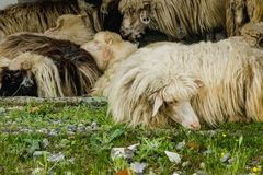 Quand le sommeil de moutons Photo libre de droits