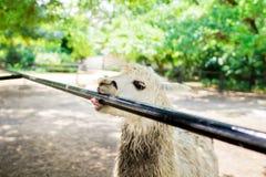 Quand les animaux posent lama Humeur du jour images stock