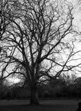 Quand les feuilles sont tombées de l'arbre Images stock
