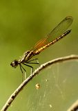 Quand libellule de Dakocan se dorant dans la chaleur du soleil Photos libres de droits