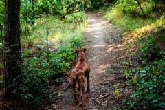 Quand votre chien marche vous Image libre de droits