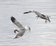 Quando ataque das gaivota Foto de Stock Royalty Free