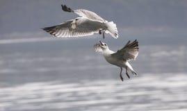 Quando ataque das gaivota Fotos de Stock Royalty Free
