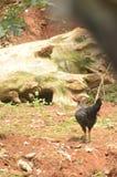 Quando a busca da galinha um alimento Fotos de Stock Royalty Free
