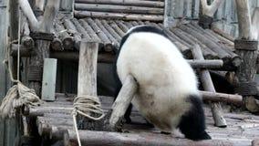 Quando Panda Cub Feels Itchy, China video estoque