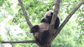 Quando Panda Cub refrigerar para fora, China filme