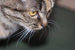 Quando um gato o olhar muito seriamente Foto de Stock Royalty Free