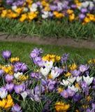 A quantidade grande de açafrões roxos e amarelos que crescem no parque Imagens de Stock