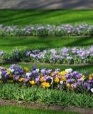 A quantidade grande de açafrões roxos e amarelos que crescem no parque Imagem de Stock Royalty Free