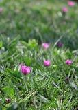 A quantidade grande de açafrões roxos que crescem no parque Imagem de Stock Royalty Free