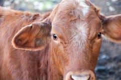 Quanto ora brunisca l'immagine della mucca Immagine Stock