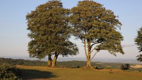 Quantock Hills Somerset England UK Seven sisters trees on top of Cothelstone. On a summer evening stock video