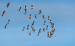 Quarantadue fenicotteri nella libertà Fotografia Stock