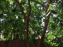 Quarantine el árbol de cal debido a la plaga mexicana de la mosca Foto de archivo libre de regalías