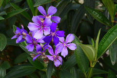 Quaresmeira Purple. Quaresmeira flower, typical of the Atlantic Forest Royalty Free Stock Images