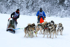 Quarrel of draft dogs Stock Photo