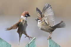 a quarrel of sparrows Royalty Free Stock Image