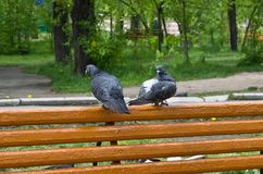 Quarrel of two enamored pigeons on a park bench.  royalty free stock image