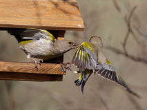 Quarrel between two green-finch Stock Images