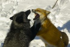 Quarreling foxes Stock Image