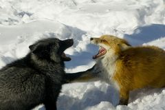 Quarreling foxes Stock Photography