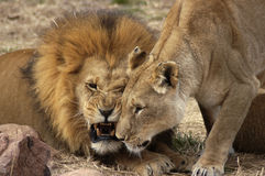 Quarreling Lions Royalty Free Stock Images