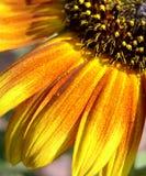 Quart jaune-orange de tournesol Photos stock